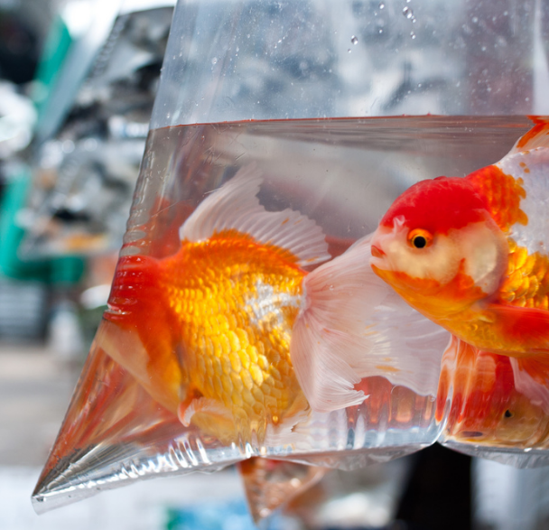 Read more about the article How to acclimate your new fish